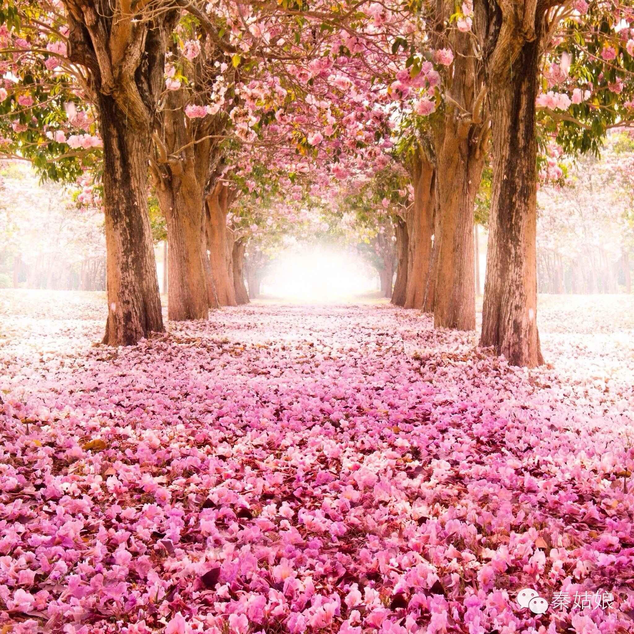 22+ Cherry Blossoms Live Wallpaper - Polamu-cuy